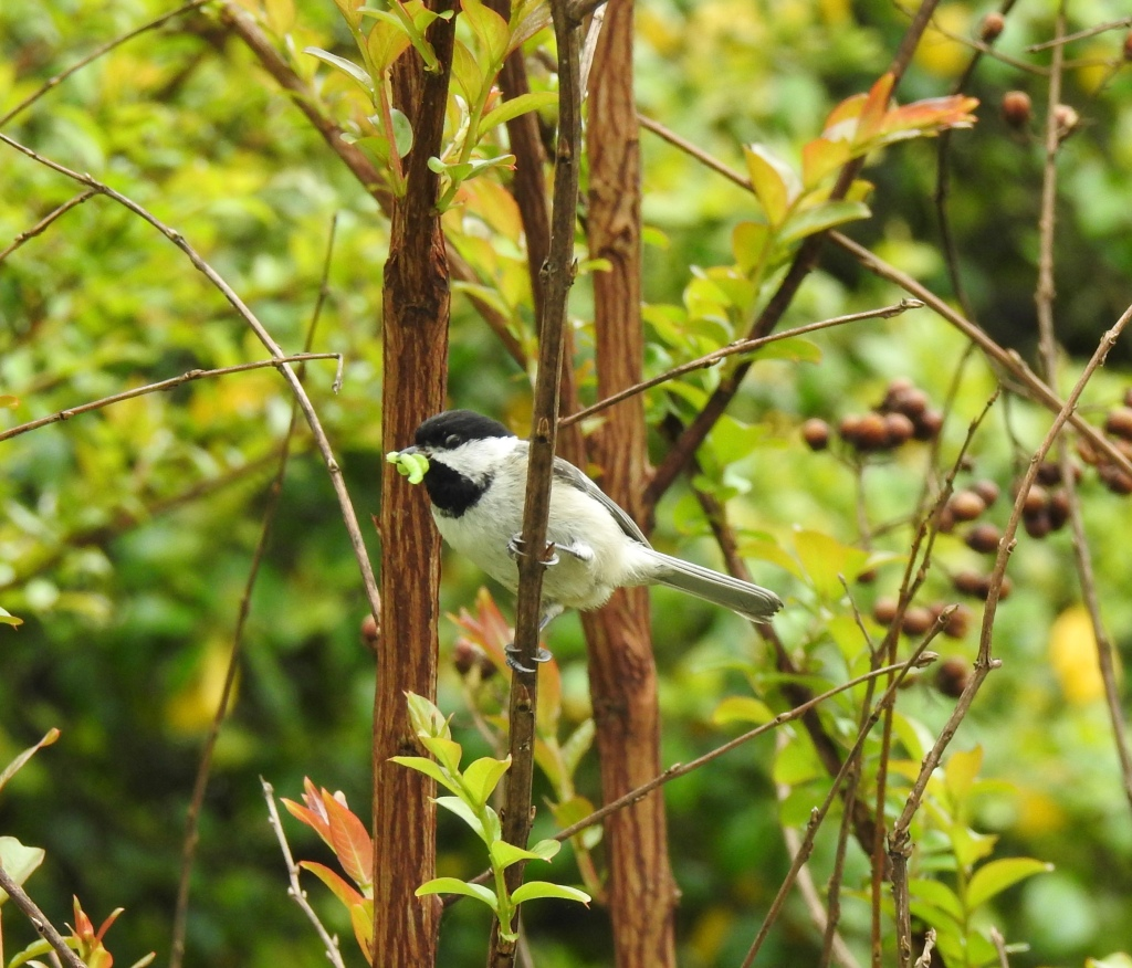 A photo of a Carolina chickadee with a caterpillar in its mouth.
