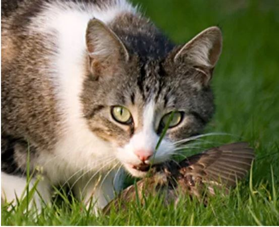 Photo of a cat eating a bird