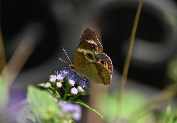 Photo of a Buckeye butterfly