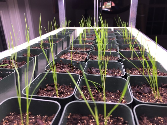 Photo of oatgrass seedlings growing in containers