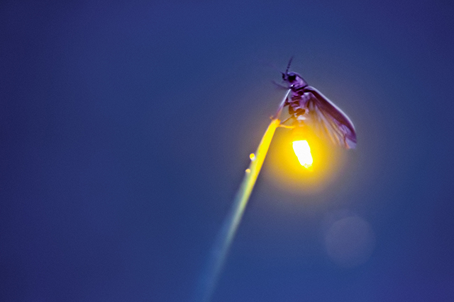 Photo of a firefly with it's tail illuminated