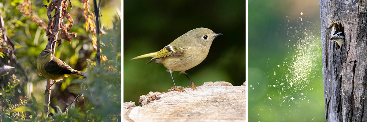 Photos of a palm warbler, a ruby-crowned kinglet, and a downy woodpecker peeking out a