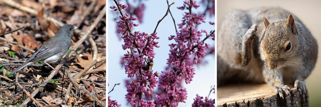 Photos of a bird, red bud flowers, and a squirrel.