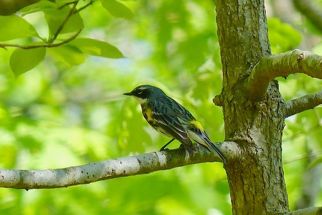 Photo of a yellow rumped warbler