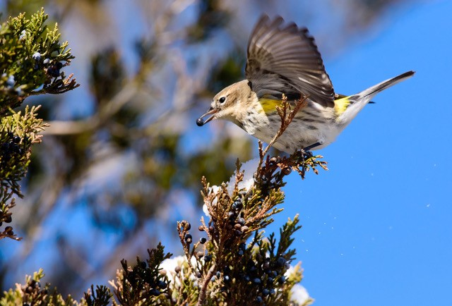 Photo of a yellow-rump warbler eating a juniper berry
