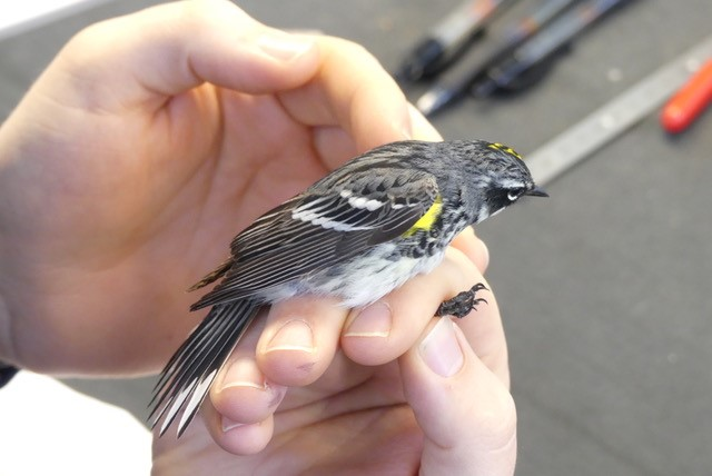 Photo of a warbler perched on a hand