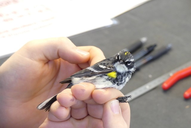 Photo of a warbler in hands facing the camera