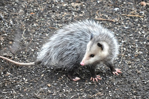 Photo of an opossum
