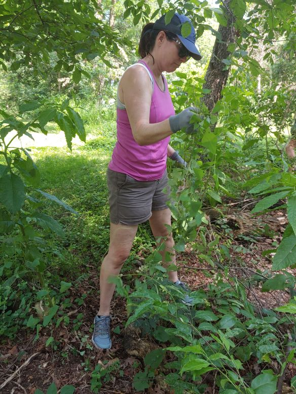 Photo of a volunteer pulling a vine
