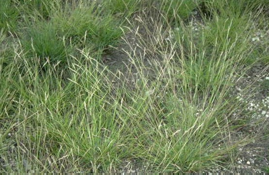 Photo of Poverty oat grass