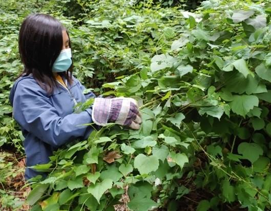 Photo of a volunteer pulling invasive plants